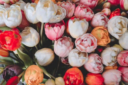 multicolor tulips, flower background, multicolor flowers and tulips