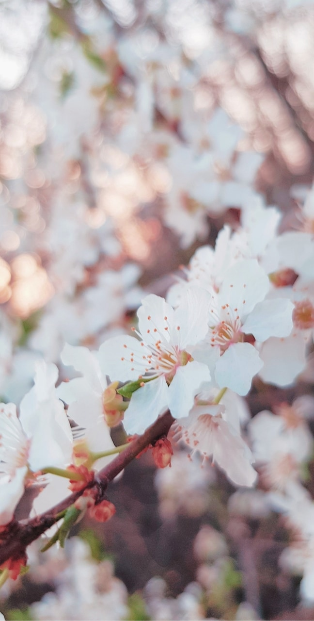 background, blossom, flowers and hd