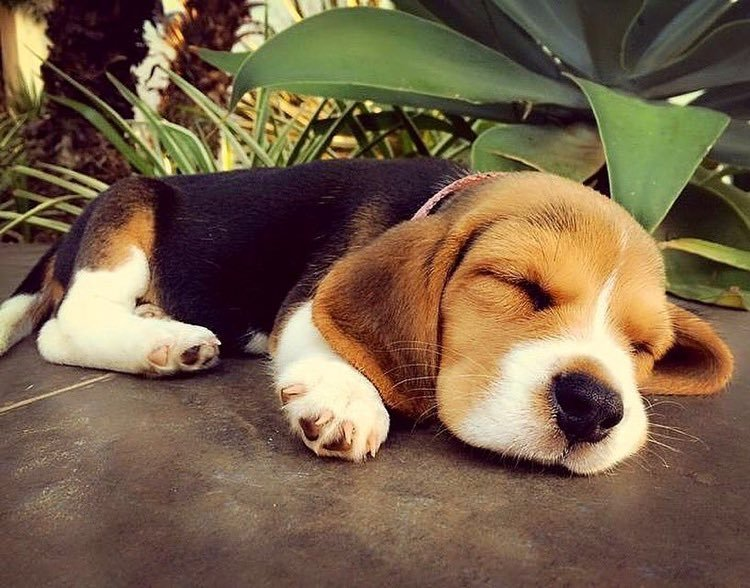 dogs, puppies, animals and beagle