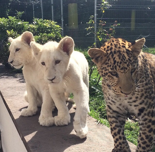 wildlife, cats, exotic and beautiful