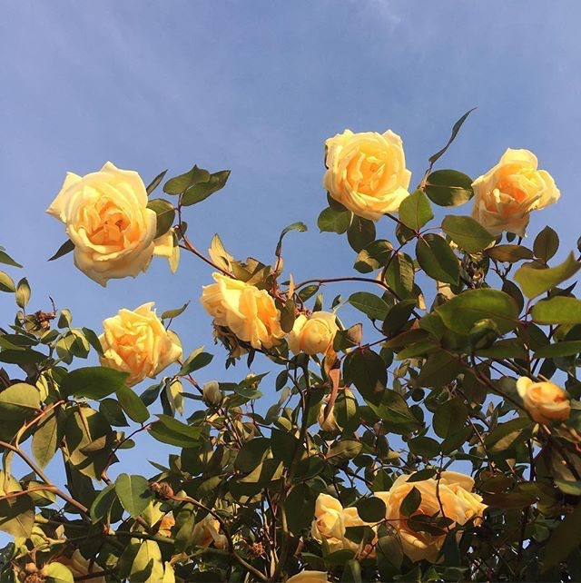 aesthetics, yellow, flowers and rose