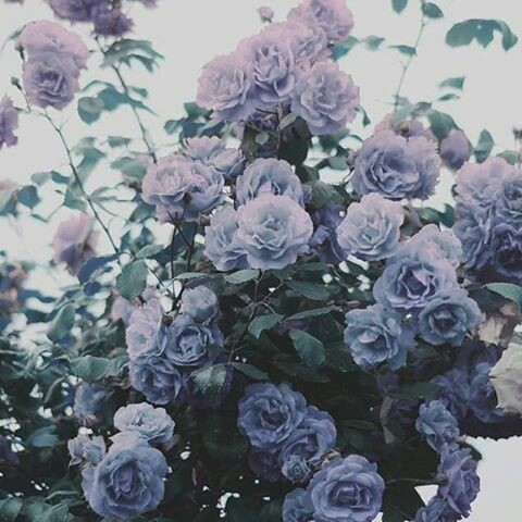 aesthetics, lavender, purple and roses