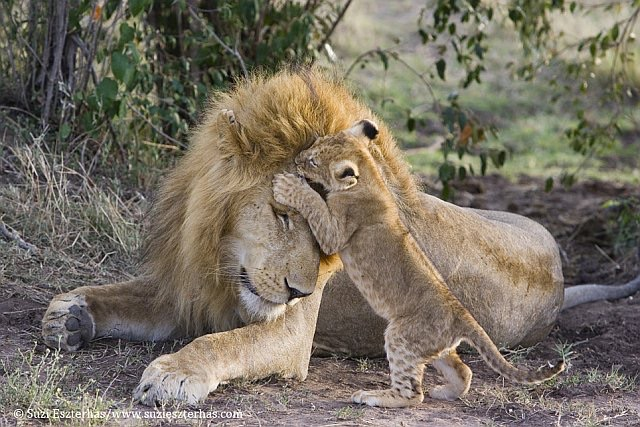 fur, baby, adorable and lion cups