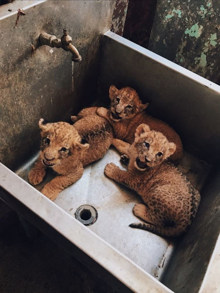 lion, animal, cute and baby