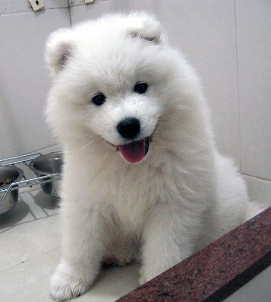 puppy love, Samoyed, adoreable and bloggers