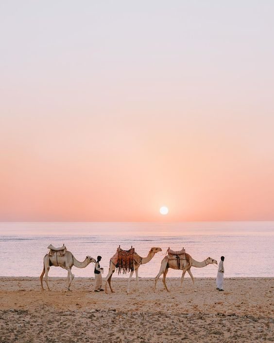 sunrise, desert, camel and rosegold
