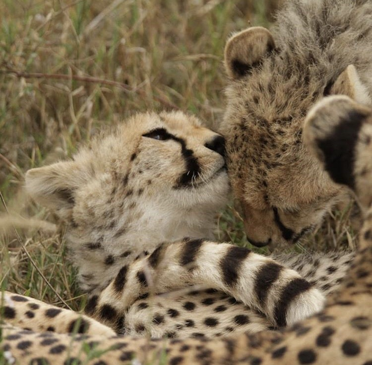 discover, travel, wildlife and cheetah