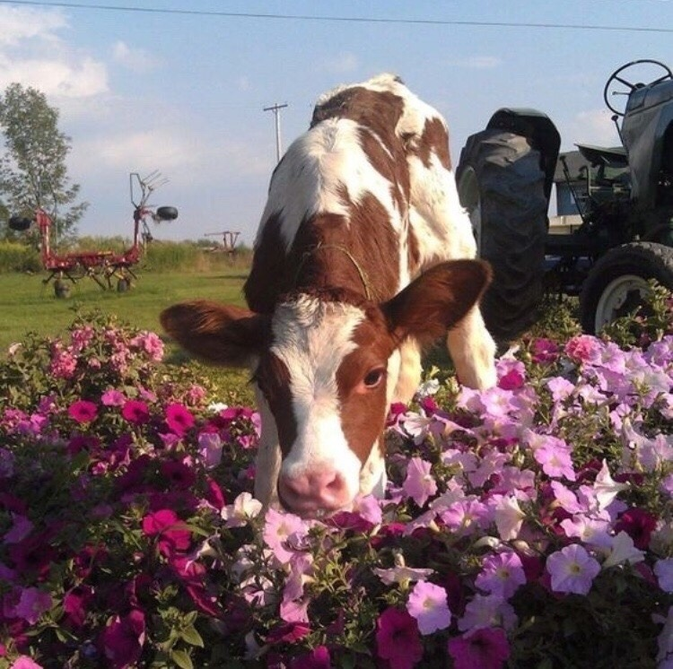 summer, cute, cow and animal