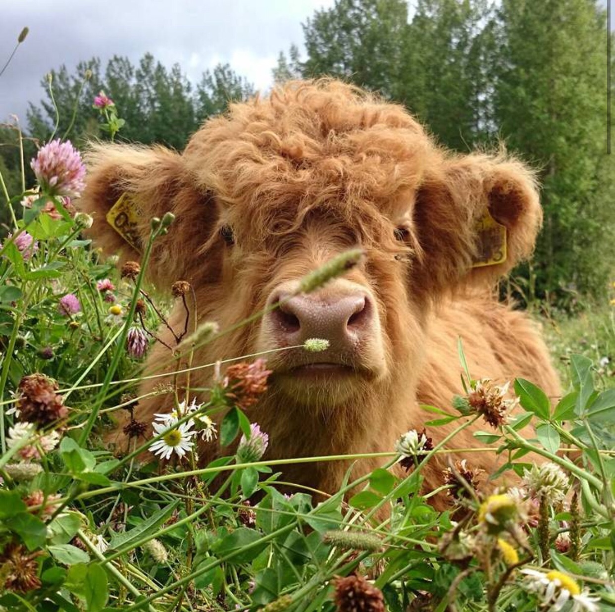 brown, flowers, cow and nature